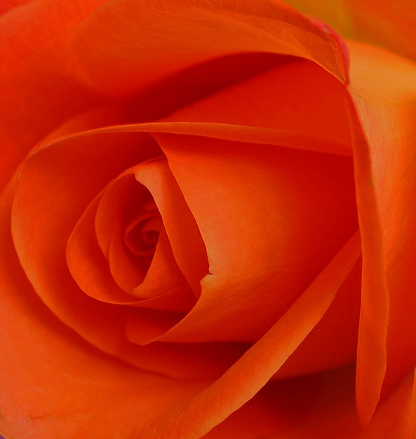 Pictures of roses with attached beauty and meanings for What color is the friendship rose