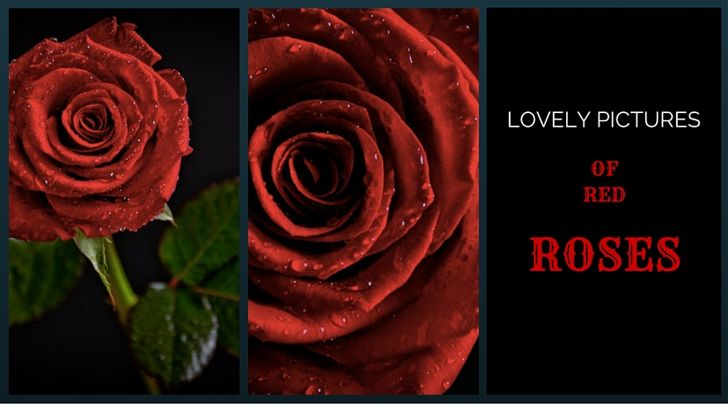 41 Lovely Pictures of Red Roses