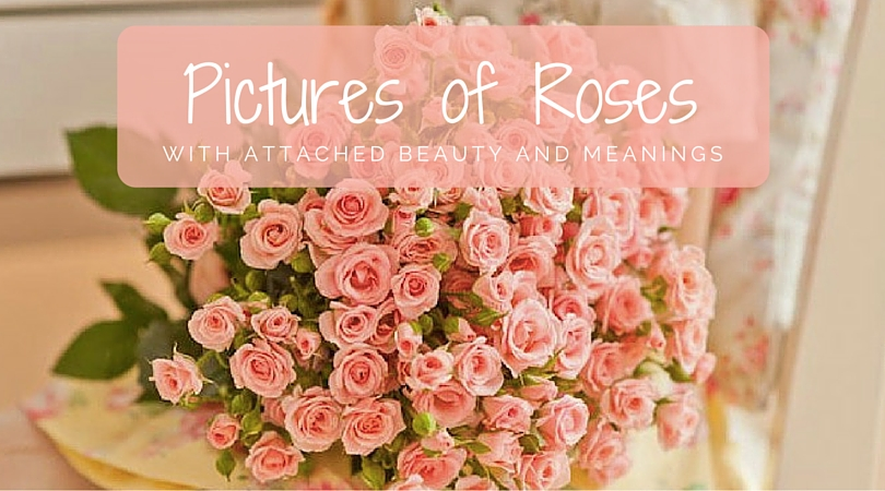 Pictures of roses with attached beauty and meanings mightylinksfo