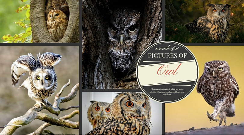 Wonderful Pictures of Owl