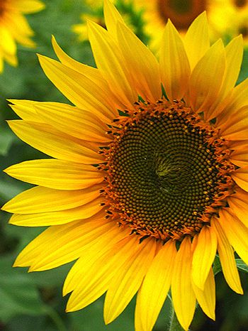 Sunflower10