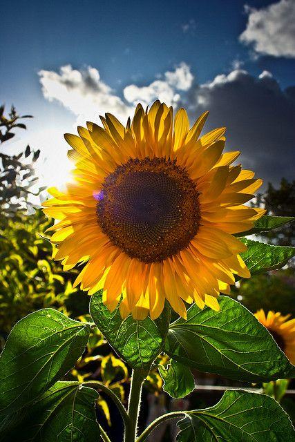 Versiculos De La Biblia De Animo: 21 Sunny Pictures Of Sunflower