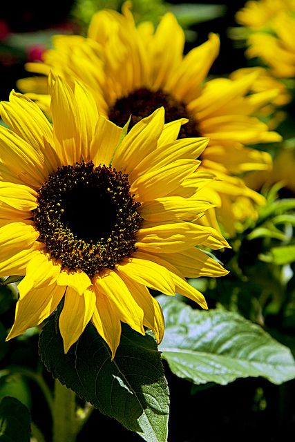Sunflower9