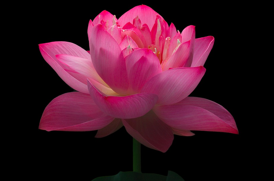 22 Marvellous Pictures of Lotus Flower