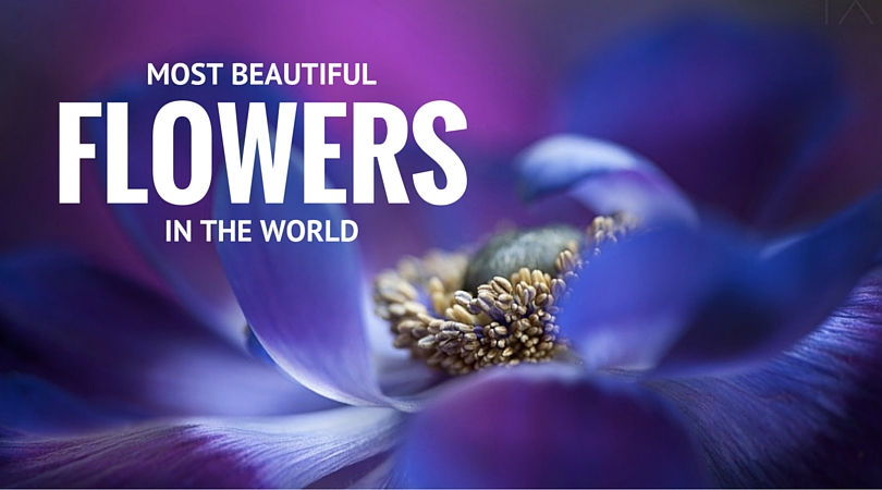 75 Pictures of Most Beautiful Flowers in the World