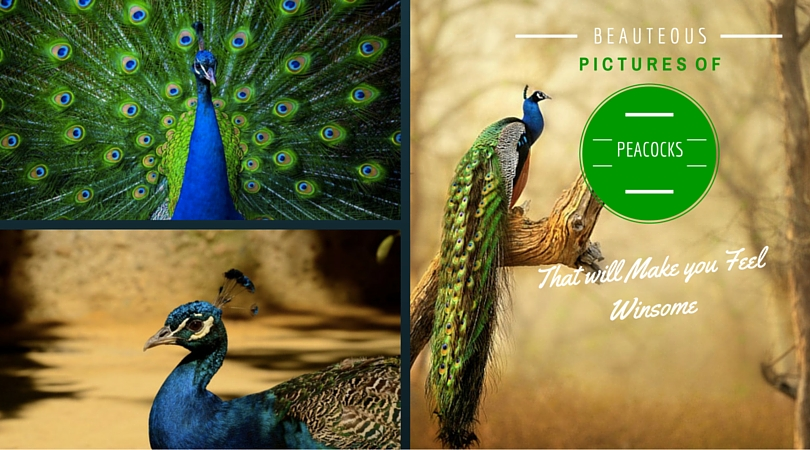 Beauteous Pictures of Peacocks
