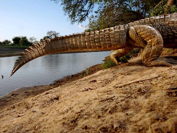 Crocodile by Camera Trap