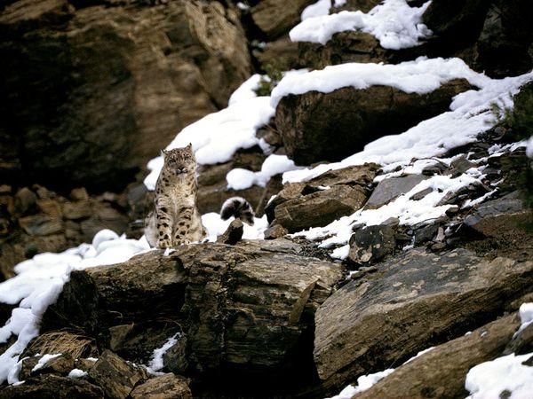 First Snow Leopard Photograph
