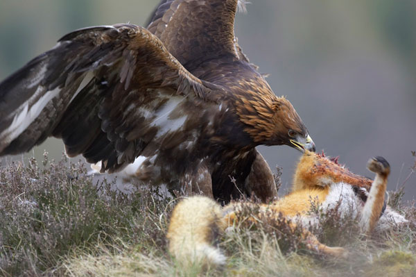 Golden Eagle Attack