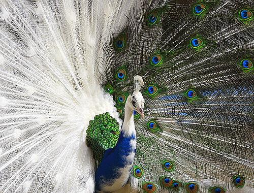 Hybrid Peacock