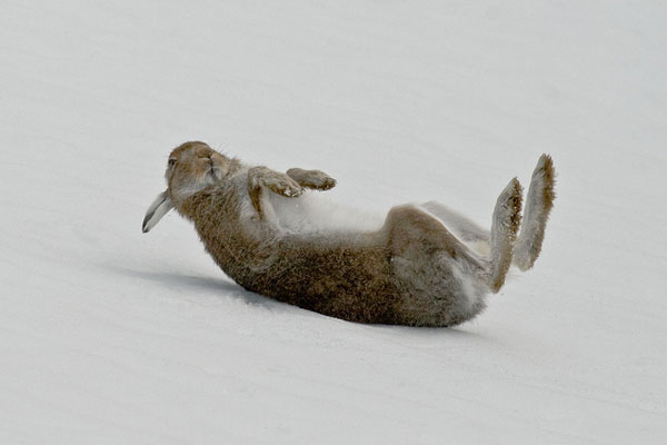 Mountain Hare Rolling in Snow