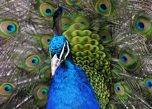 Peacock Flamenco by Mark Wheadon