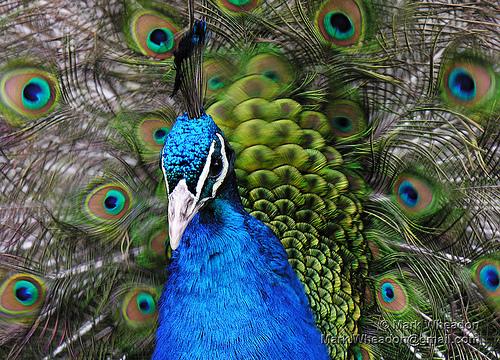 Peacock Flamenco by Mark Wheadon