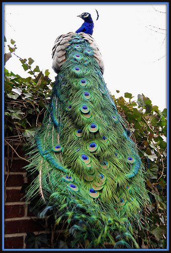 Peacock Tail, Long View by Tony Fischer