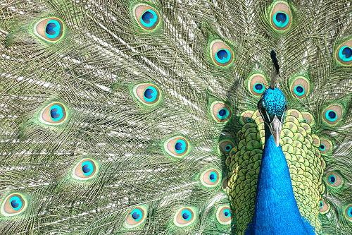 Peacock by Paul Friel