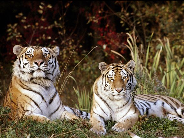 Siberian Tiger Conservation