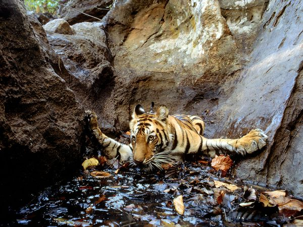 Tiger Snapped by Camera Trap