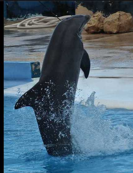 A dolphin standing and swimming