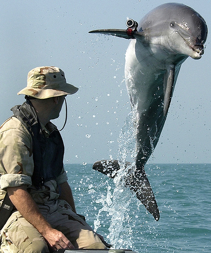 Working Dolphin, K-Dog a Bottle Nose Dolphin leaps out of the water by Beverly & Pack