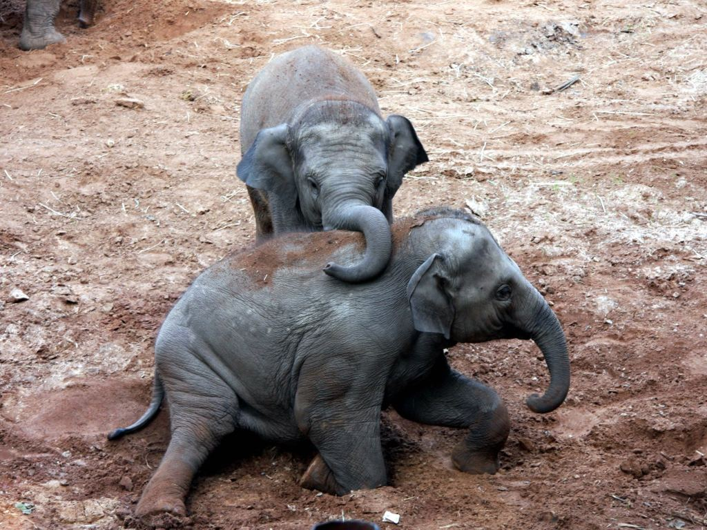 30 Cute Baby Elephants Pictures and Videos
