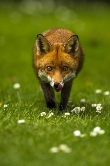 12 - 18's Joshua Burch, On the Prowl, Fox, South London, England (16yrs)