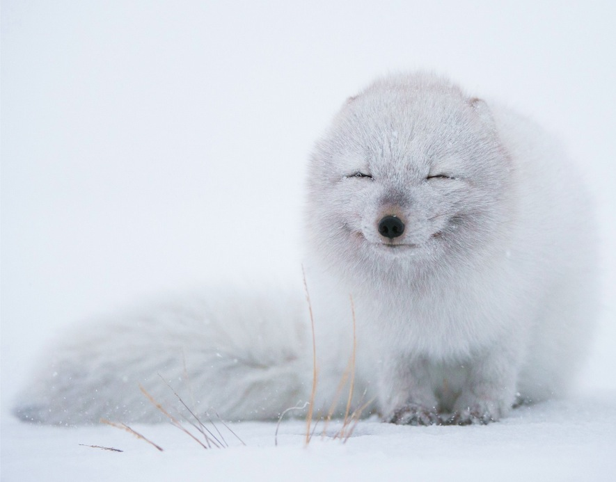 Little white fox