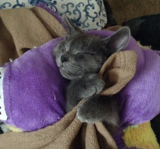 My mom strapped my kitten into a Pillow Pet and she fell asleep there.