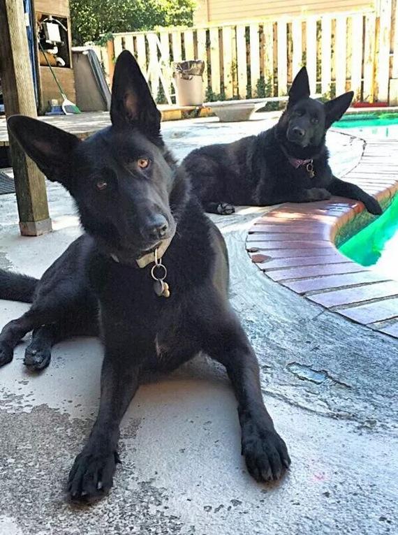 My two black German Shepards on splash patrol at my swimming pool