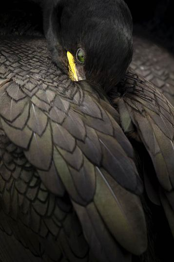 Shag resting, taken in Northumberland by Steven Fairbrother