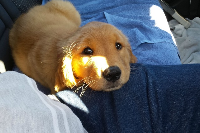 The ride home with my new pup