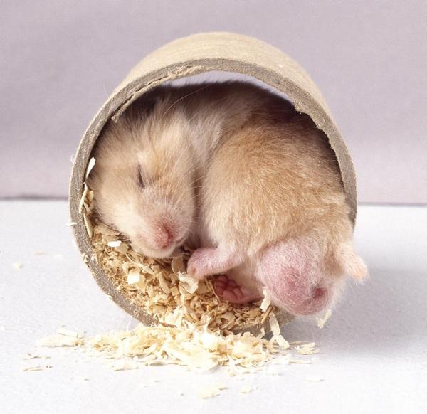 Baby Hamsters Sleeping Stock Photo - Image: 54420222  Cute Baby Hamsters Sleeping