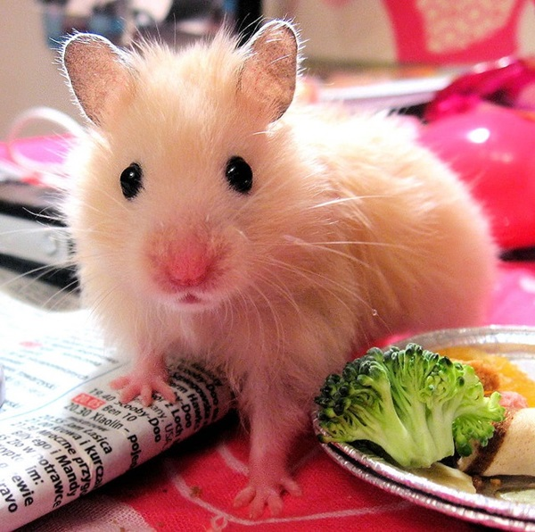 cute hamster wallpapers