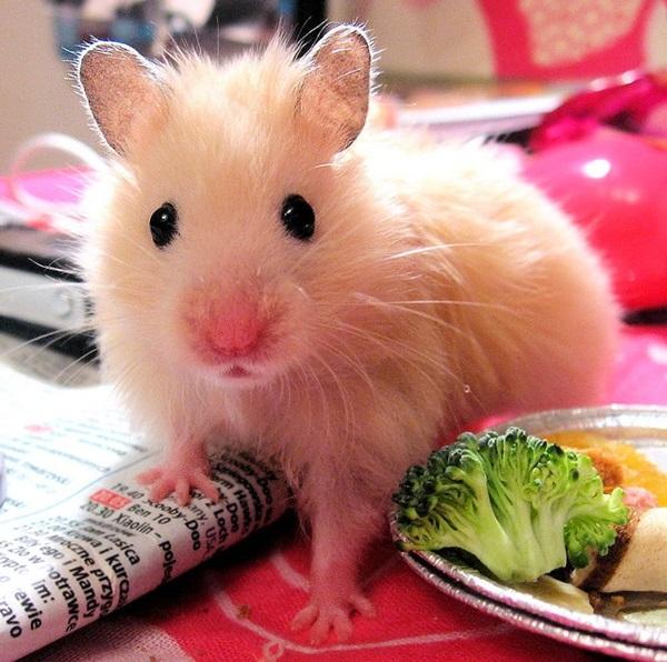 cute little hamsters photos - photo #38