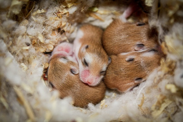 Pictures-of-Cute-Hamster-40