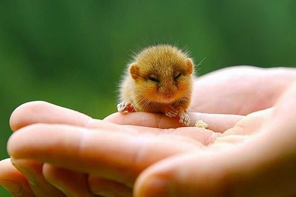 Pictures-of-Cute-Hamster-5