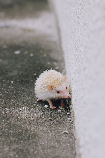 Albino hedgehogs16