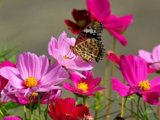 Butterfly Pictures2