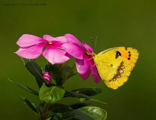 Butterfly Pictures4