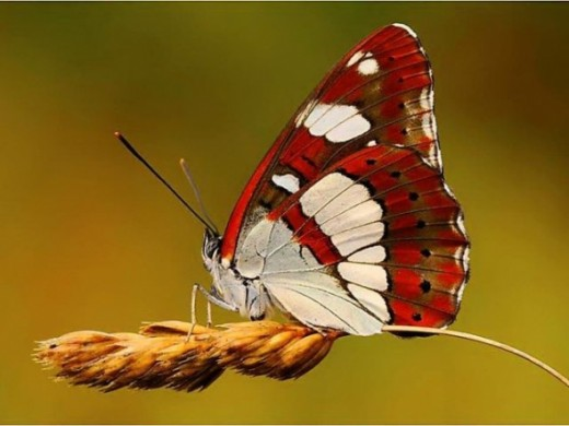Butterfly Pictures5