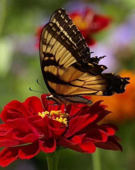 Butterfly Pictures6