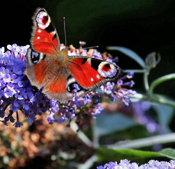 Butterfly tattoo14