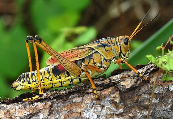 Grasshopper 7
