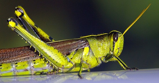 Grasshopper Pictures 2