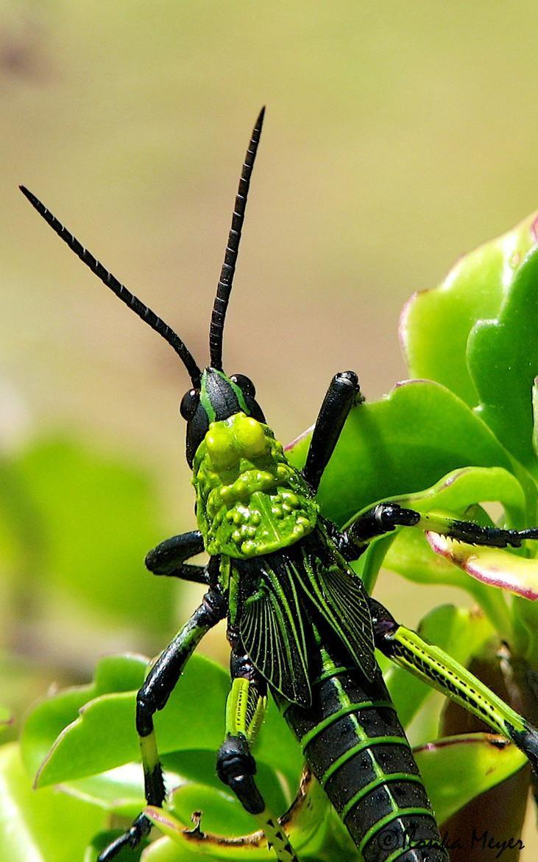 20 Awe Inspiring Grasshopper Pictures