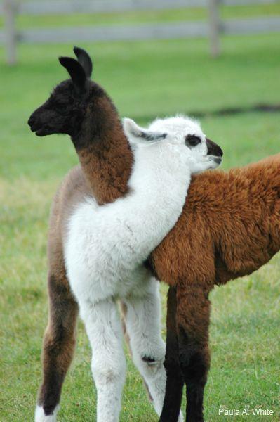 Llama images1