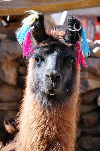 Llama images2