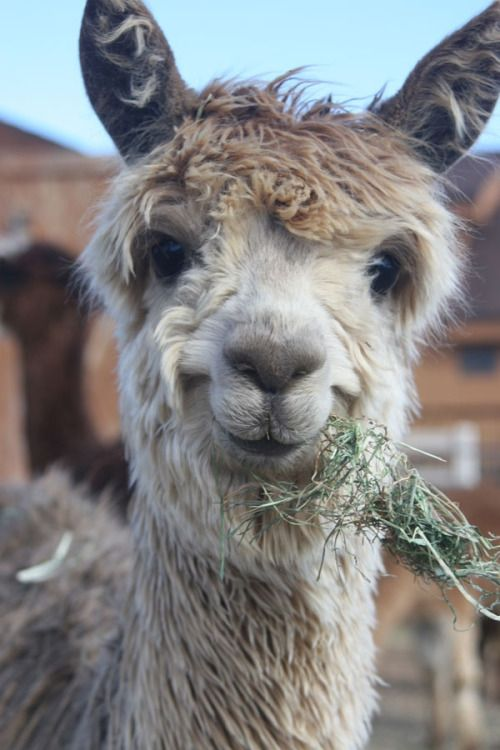 Picture Of A Llama Crying: 20 Llama Images With Charming Expressions