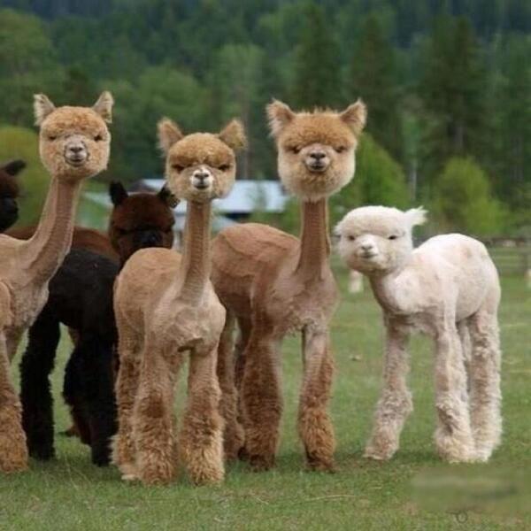 Llama images5