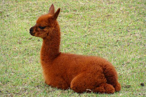 Llama images6
