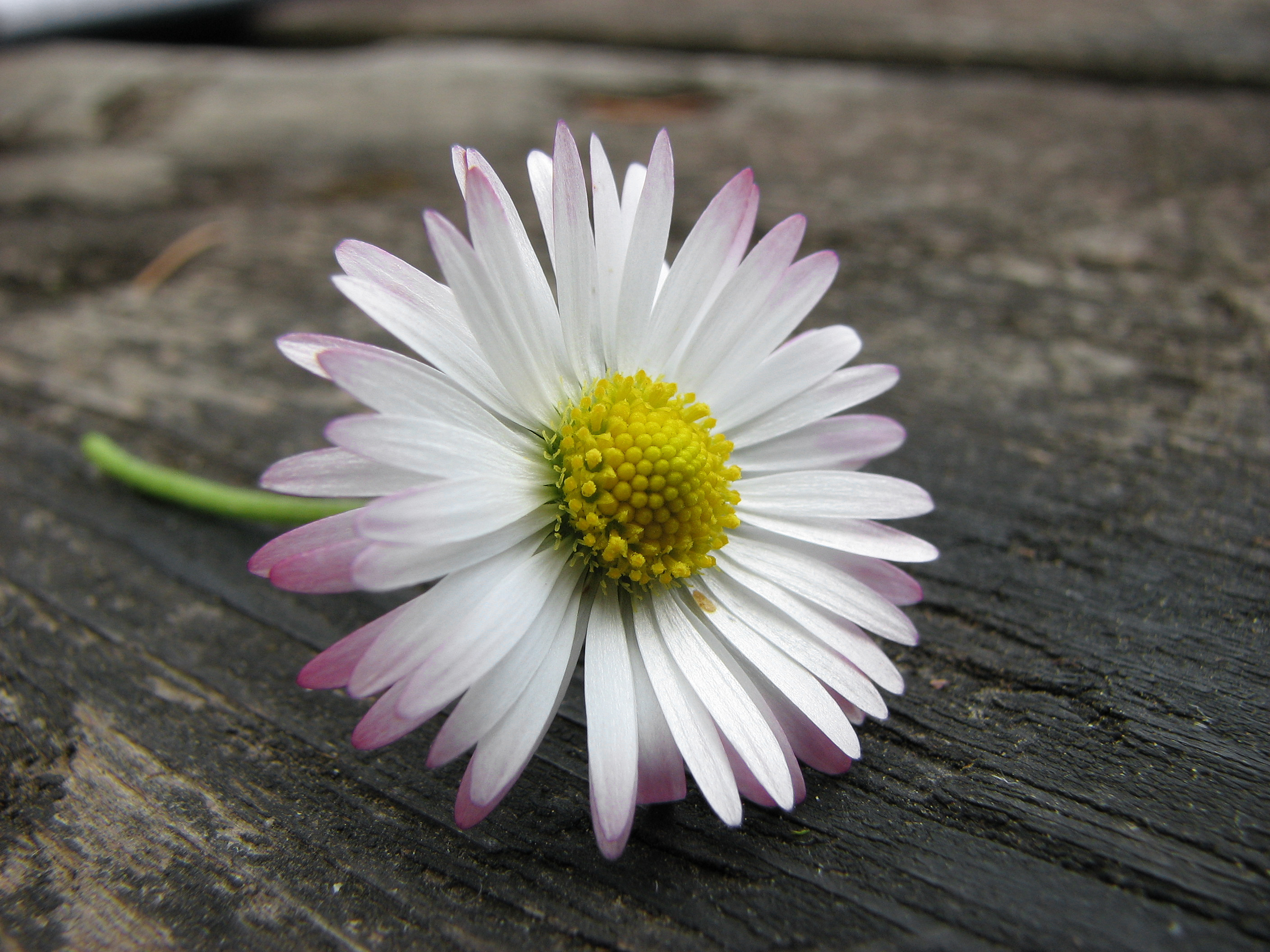 25 Beautiful and Vivid Daisy Images